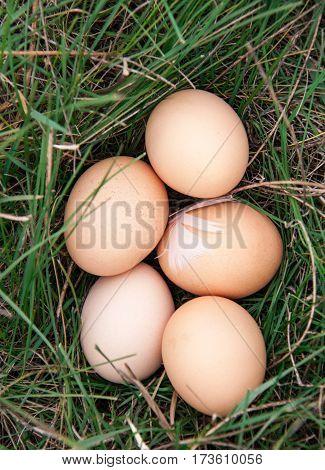 chicken eggs lying in a green grass.