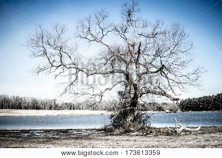 Ancient tree in front of a lake