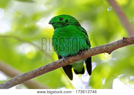 Green Broadbill Calyptomena viridis Male Cute Birds of Thailand