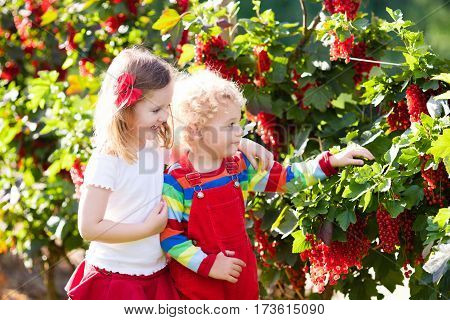 Kids Picking Red Currant Berry In The Garden