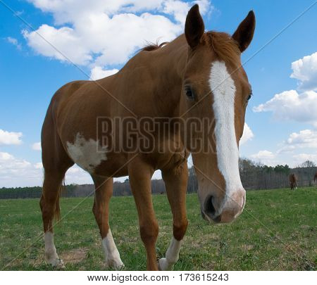 Red mare horse in green filled pasture