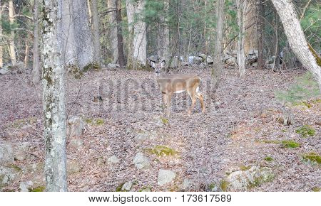 White tail deer in woods looking towards photographer