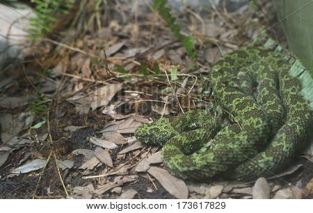 Manghshan Pit Viper