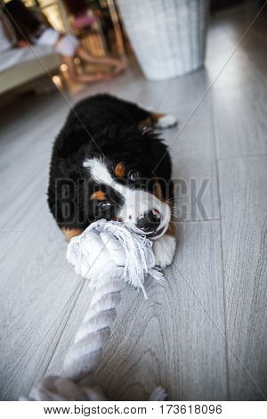 Bernese Puppy Playing. Puppy chewing on the rope at home
