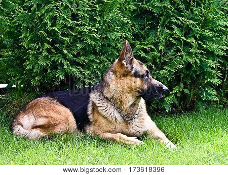 dog, german shepherd, dog, purebred, lying on green grass in the summer, the bushes in the background, portrait and profile photo is visible to the whole dog, black, brown colors and shades