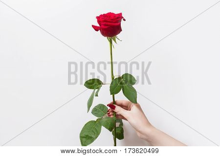 Red rose in a female hand with red nails on a white background. Beautiful rose flower. Space for text and design.