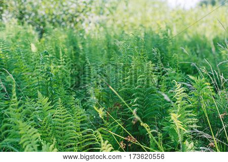 Fern leaves. Chlorophyll. Healthy flora growing in the forest on the planet Earth. International Day of Forests.