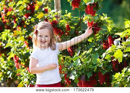 Little Girl Picking Red Currant In The Garden