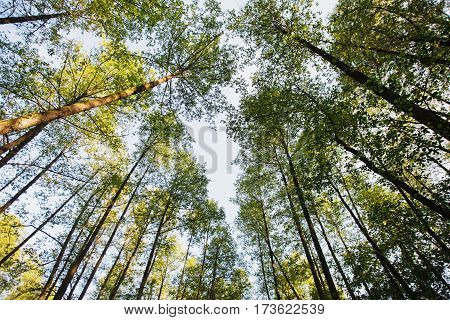 Tree tops are illuminated by the setting sun in forest. Summer time nature. Dark forest. Clear sky and tops of trees. Nature background. Wild nature