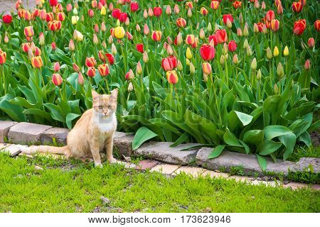 Cute red cat on tulips background. Beautiful view of red, yellow tulips under sunlight landscape at the middle of spring or summer. Colorful tulips, tulipa field, lawn, spring flowers at green garden.