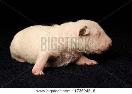 Miniature Bull Terrier Puppy, ten days old, lying in side over black background