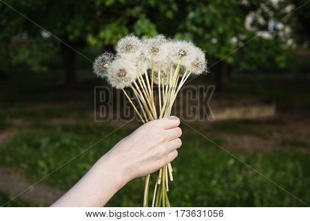 White dandelion in a female hand on a green background. Summer dandelion flower