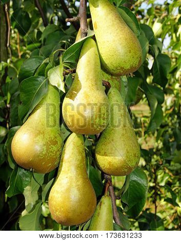 Pears in the summer garden, harvest time