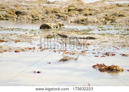Bird chases in the mud on the beach of Bamburi in front of the Indian ocean