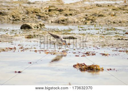 Bird in the mud on the beach of Bamburi in front of the Indian ocean
