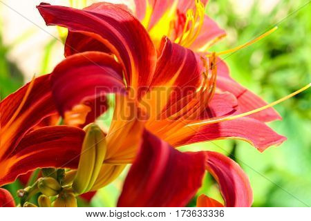beautiful red, blushing, ruddy  lily in the garden grow , sunny day, burgundy, yellow, green