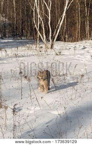 Canadian Lynx (Lynx canadensis) Walks Forward Through Snow - captive animal