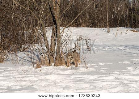 Canadian Lynx (Lynx canadensis) Stands Near Trees - captive animal