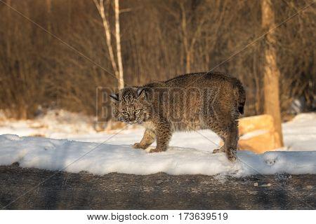 Bobcat (Lynx rufus) Kicks Up Snow Atop Log - captive animal