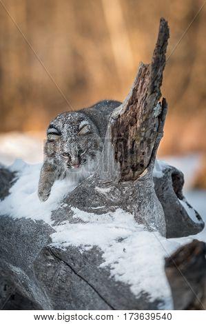 Bobcat (Lynx rufus) Bats Around Log Spur - captive animal