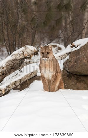 Adult Female Cougar (Puma concolor) Sits in Snow - captive animal