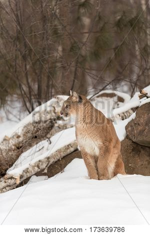 Adult Female Cougar (Puma concolor) Turns While Sitting in Snow - captive animal