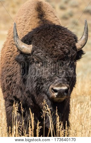 a bison in teton national park Wyoming in fall