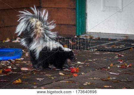 Striped Skunk (Mephitis mephitis) Walks Towards Door - captive animal