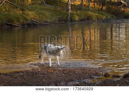 Grey Wolf (Canis lupus) Shakes Off - captive animal