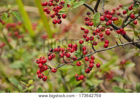 The pyracantha fruit closeup in autumn season