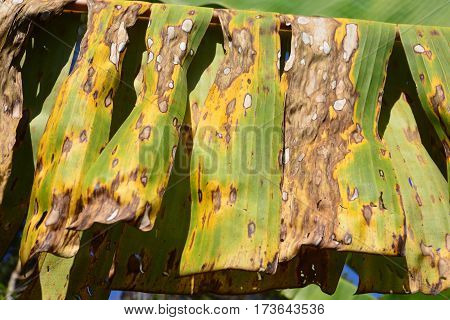 plant disease on a banana leaf the naturally occurring