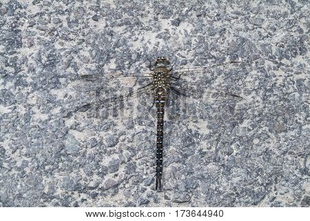 Migrant Hawker dragonfly Aeshna mixta resting on stony path