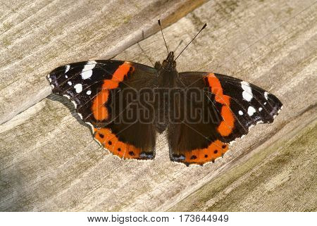 Red Admiral Vanessa atalanta basking in sunshine on wooden fence