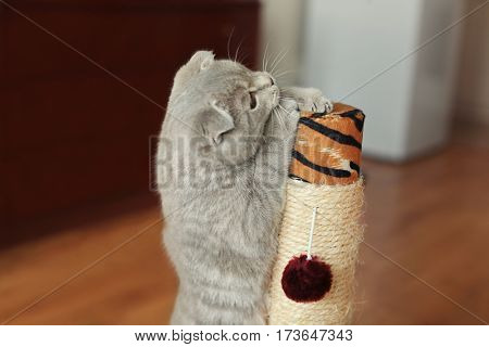Cute cat with claws sharpener at home
