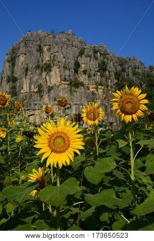 Sunflowers in valley,  ban noen maprang, Thailand