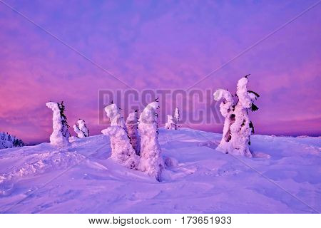 Frozen trees on mountains top at sunrise. Mount Seymour Provincial Park. North Vancouver. British Columbia. Canada.