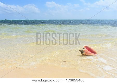 conch shell on the Caribbean ocean shore