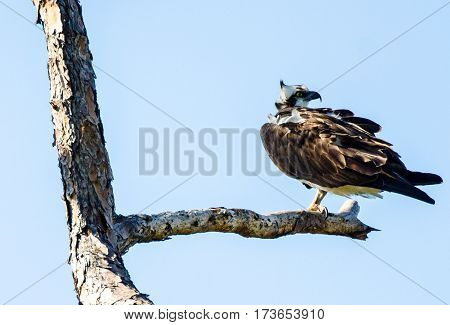 An osprey perched on one leg on the limb of a tree with the wind ruffling its feathers