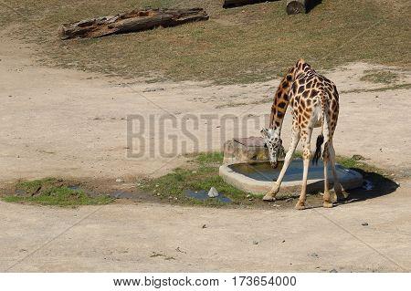 Rothschild's giraffe (also known as Baringo giraffe or Ugandan giraffe) drinking water from reservoir