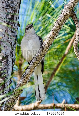 A mockingbird with puffed breast feathers as it perches in a pine tree