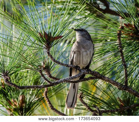 A mockingbird perched in a pine tree with green needles and small cones