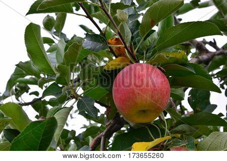 Apple (Malus domestica) on the tree in japan