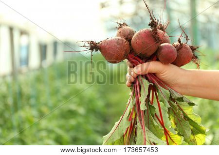 Freshly picked beetroots in hand on natural background