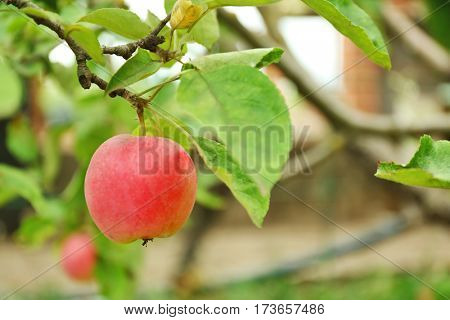 Apple on tree in fruit garden