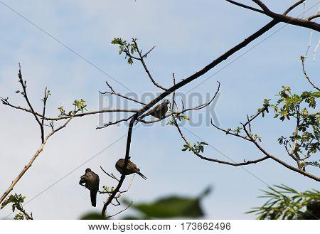 Cute wild birds look like pigeons hanging on a tree