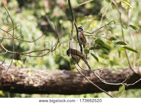 Two brown robin hangs on a tree twig