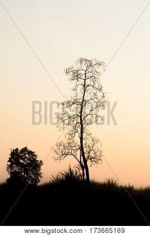 Bare tree black silhouette in foggy sunset sunrise