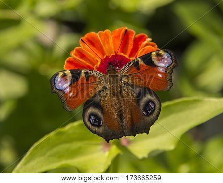 butterfly a Peacock eye on Tsiniya's flower