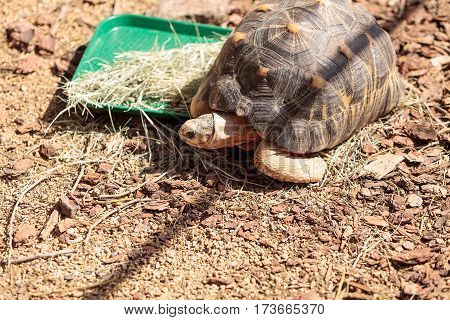 Radiated Tortoise Scientifically Known As Astrochelys Radiata