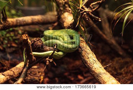 Side Striped Palm Pit Viper Known As Bothriechis Lateralis